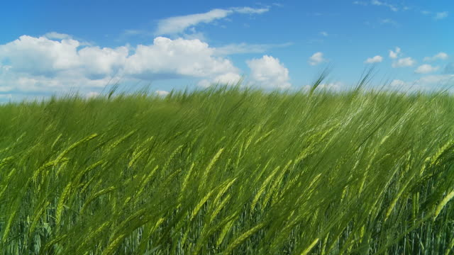 hd dolly: green wheat swaying in the wind - wheat stock videos & royalty-free footage