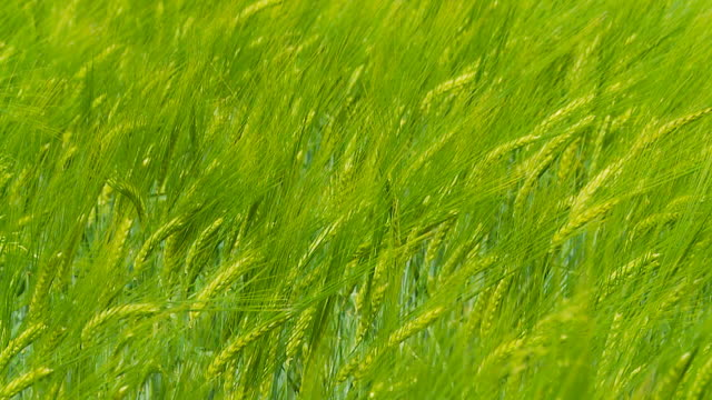 hd slow motion: green wheat swaying in the wind - blade of grass stock videos and b-roll footage