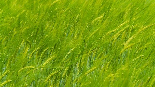 HD RALLENTATORE: Verde di grano ondeggiano al vento
