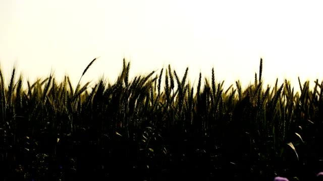 stockvideo's en b-roll-footage met groene tarwe - volkorentarwe