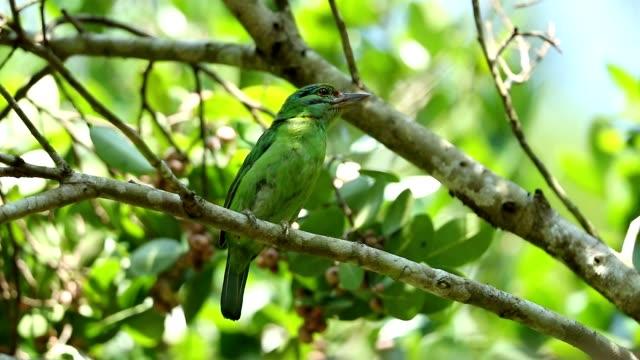 vídeos y material grabado en eventos de stock de verde de orejas barbet megalaima faiostricta aves de tailandia, cámara lenta - oreja animal