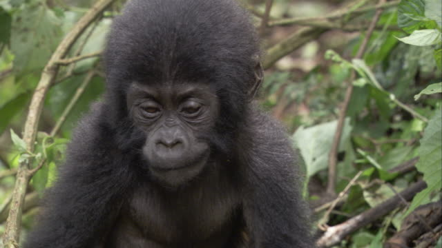 Greenery surrounds a mountain gorilla infant. Available in HD.