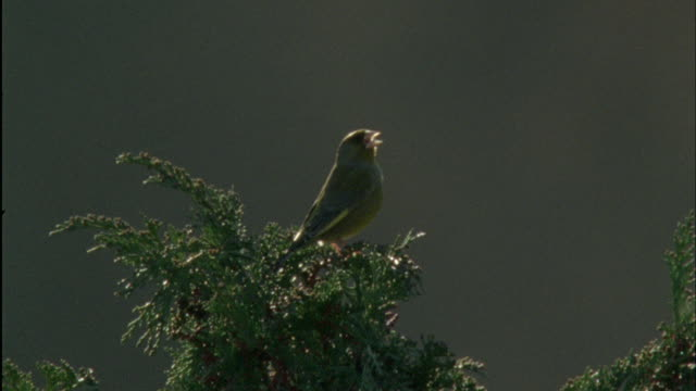 greenfinch (chloris chloris) sings during dawn chorus, forest of dean, uk - birdsong stock videos & royalty-free footage