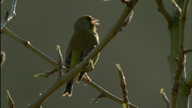 greenfinch (chloris chloris) sings during dawn chorus, forest of dean, uk - songbird stock videos & royalty-free footage
