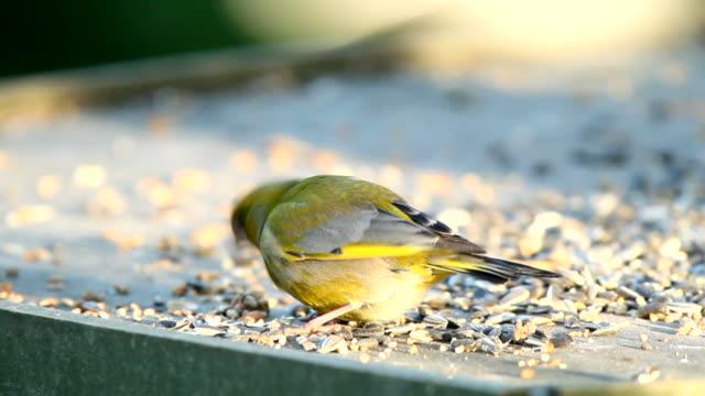 vídeos y material grabado en eventos de stock de greenfinch - baño para pájaros