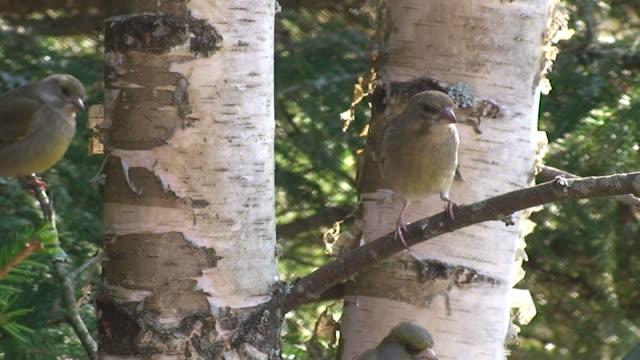 greenfinches 戦う - カバノキ点の映像素材/bロール