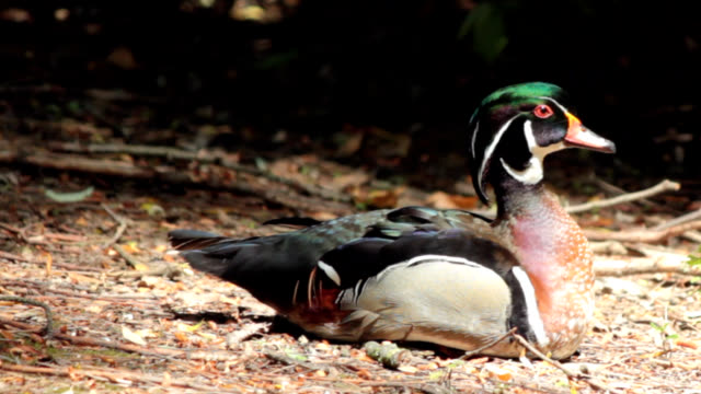 green-headed duck - duck stock videos & royalty-free footage