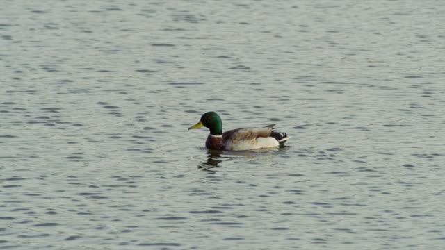 green-headed mallard duck swims across peaceful blue water. - mallard stock videos and b-roll footage