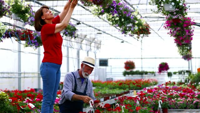 温室花の栽培します。 - ゼラニウム点の映像素材/bロール