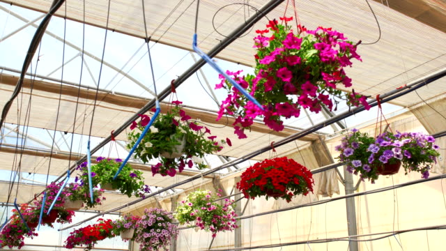 greenhouse flowers. - sprinkler system stock videos & royalty-free footage