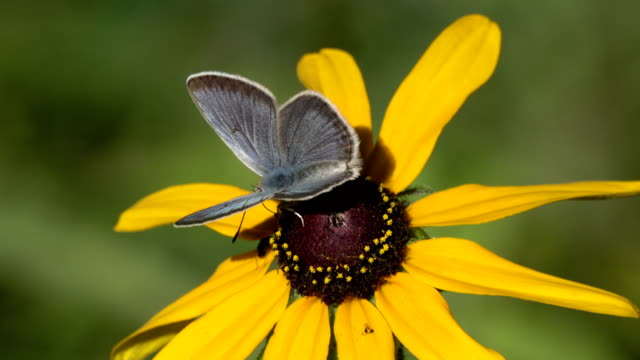 greenish blue butterfly feeds on common sunflower evergreen colorado - common sunflower stock videos & royalty-free footage