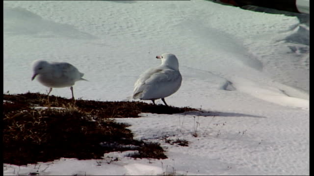 Gulls in snowy landscape GREENLAND EXT Gulls pecking at grass in area of snow where ice has melted / more of gulls feeding in grassy area in snow /...