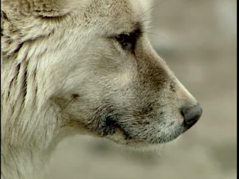 cu greenlandic sled dog used by fishermen in winter for ice travel, headshot, ilulissat, greenland - 働く動物点の映像素材/bロール