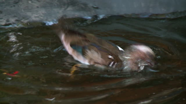 green-winged teal duck splashing water on back - teal stock videos & royalty-free footage