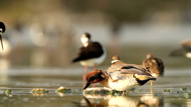 green-winged teal - teal stock videos & royalty-free footage