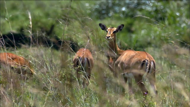 gregarious animals in the nairobi national park - nairobi stock videos and b-roll footage