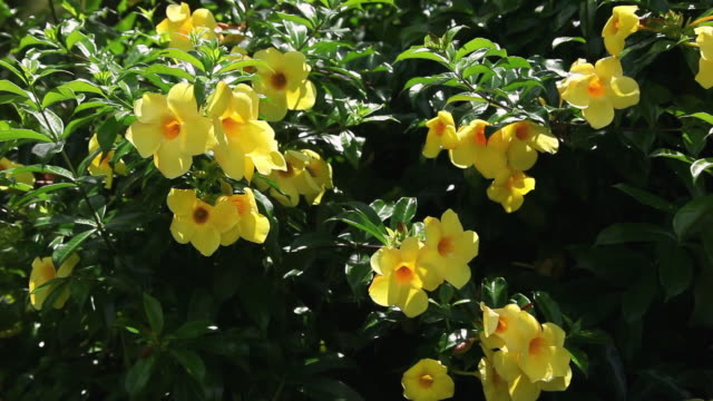 ms gregariousness yellow allamanda flowers shaking by wind / hilo, big island,hawaii, united states - hilo stock videos & royalty-free footage
