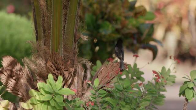 grenada blackbird (grakles), grenada, west indies, caribbean, central america - gespreizte flügel stock-videos und b-roll-filmmaterial