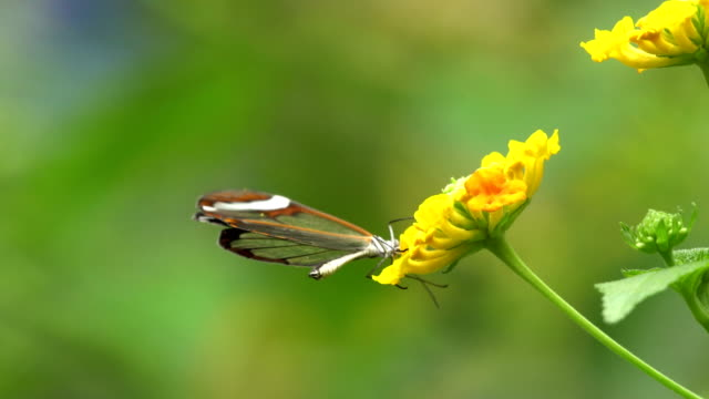 greta otto butterfly on flowers - pollination stock videos & royalty-free footage