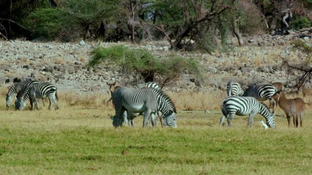 grevy's & burchell's zebras grazing samburu  kenya  africa - 平地点の映像素材/bロール