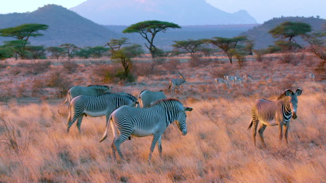 Grevy'S Zebra Grazing Samburu  Kenya  Africa
