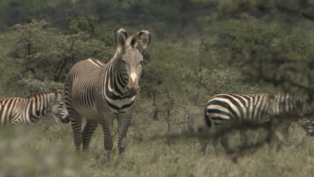 ms, grevy's zebra (equus grevyi) in savanna, zebras (equus burchellii) walking in background, masai mara, kenya - steppenzebra stock-videos und b-roll-filmmaterial