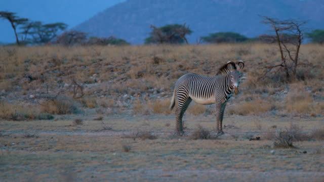 grevy's zebra rolling in dust samburu  kenya  africa - 一匹点の映像素材/bロール