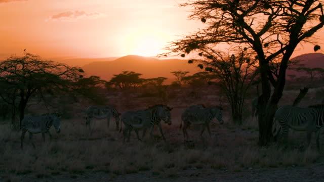 vídeos y material grabado en eventos de stock de grevy's zebra walking at sunset samburu  kenya  africa - grupo de animales