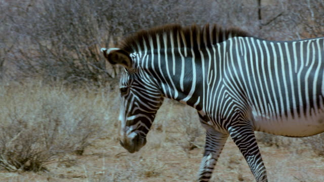 grevy's zebra walking samburu  kenya  africa - safari animals stock videos & royalty-free footage