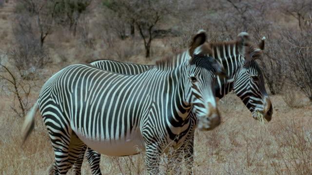 grevy's zebras grazing samburu  kenya  africa - safari animals stock videos & royalty-free footage