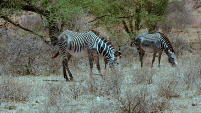 grevy's zebras grazing samburu  kenya  africa - シマウマ点の映像素材/bロール