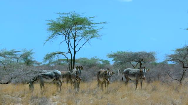 vídeos de stock, filmes e b-roll de grevy's zebras observing samburu  kenya  africa - reserva animal