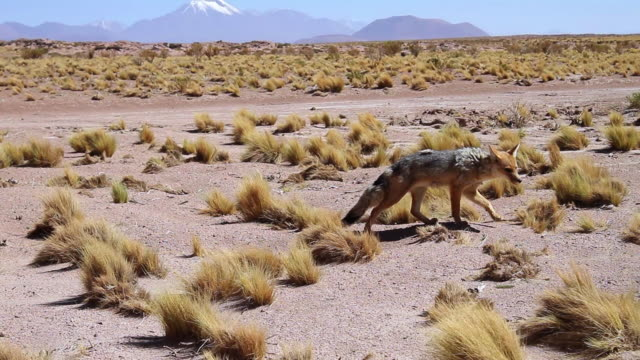 ms ts grey and brown colored chilla aka patagonian fox walking then lying down and yawning on desert arid landscape with yellow shrubs and mountains - fox stock videos and b-roll footage