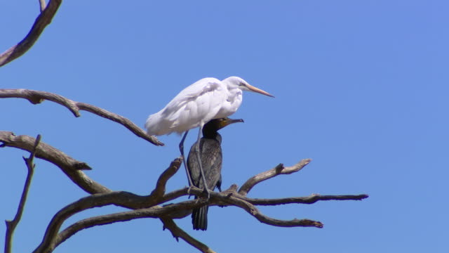 grey and white water wading bird stands on branch of dead tree blue sky behind pan to branch with pair of wading birds one pure white one grey - water bird stock videos & royalty-free footage
