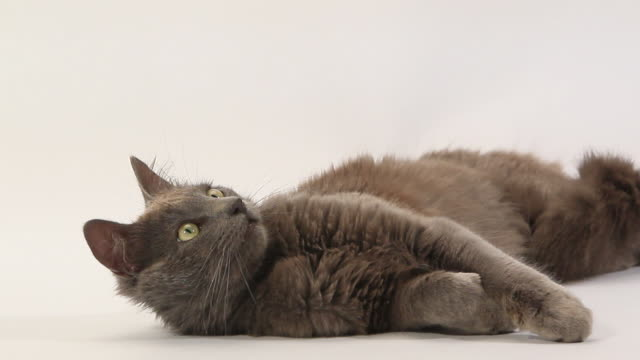 Grey angora domestic cat laying down and looking around against white background