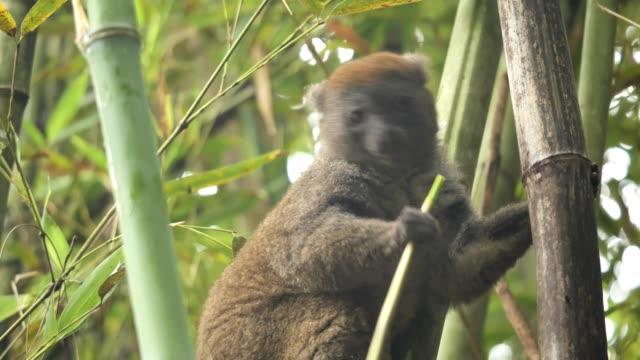 grey bamboo lemur - madagascar stock videos & royalty-free footage