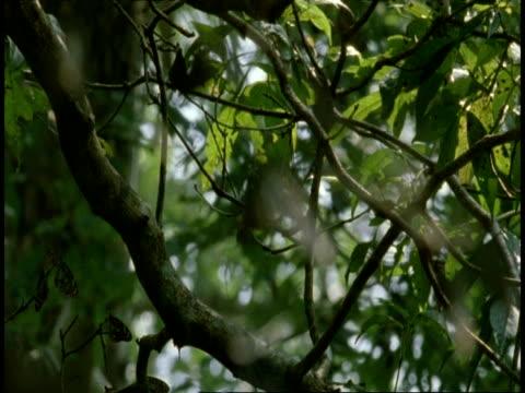 vidéos et rushes de ms grey butterflies on branch, western ghats, india - groupe moyen d'animaux