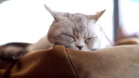 graue katze ruht auf einem sofa - schwenk stock-videos und b-roll-filmmaterial