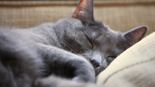 a grey cat takes a nap on a couch. - napping stock-videos und b-roll-filmmaterial