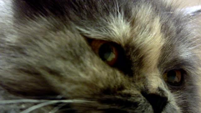 vidéos et rushes de chat gris - nez d'animal