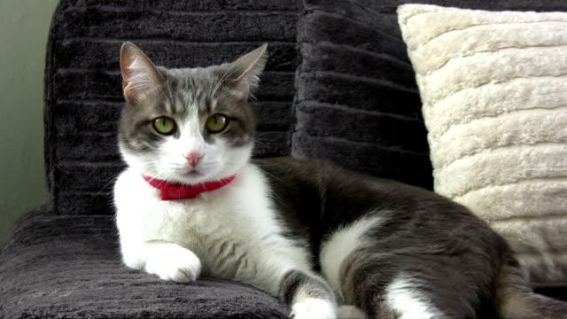 vídeos de stock e filmes b-roll de gato cinzento - animal doméstico