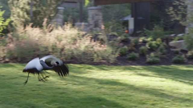 grey crowned crane running to take flight - 動物の脚点の映像素材/bロール