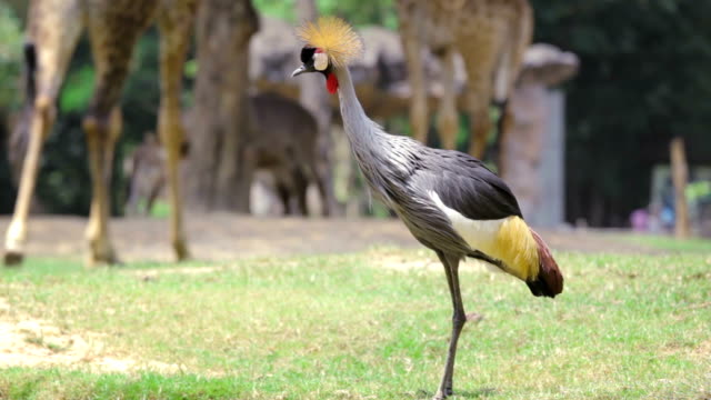 grey crowned crane - animal wing stock videos & royalty-free footage