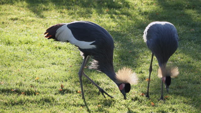 grey crowned cranes picking through the grass as they search for food - 動物の脚点の映像素材/bロール