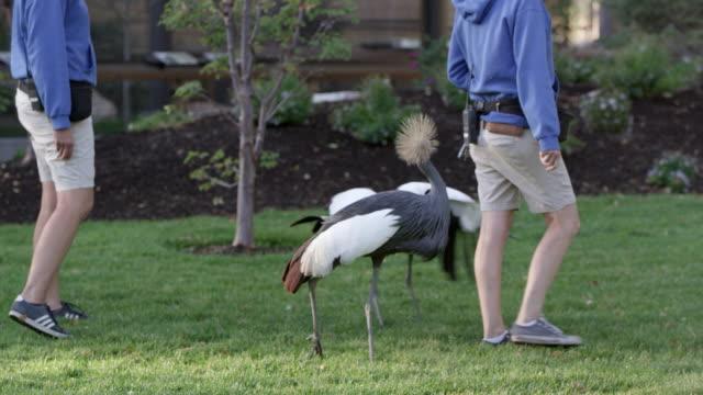 2 grey crowned cranes with bird keepers - 動物の脚点の映像素材/bロール