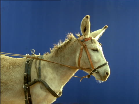 grey donkey chewing and wearing bridle - bridle stock videos & royalty-free footage