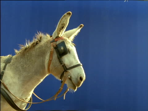 Grey donkey wearing bridle and blinkers