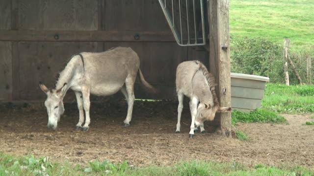 Grey donkeys
