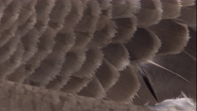 Grey feathers overlap each other tightly on a Blue-footed Booby. Available in HD.