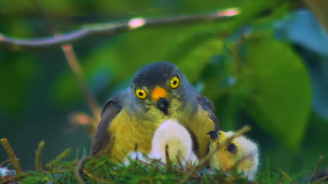grey frog hawk (accipiter soloensis) feeding its chicks, gangwon province, south korea - becco video stock e b–roll